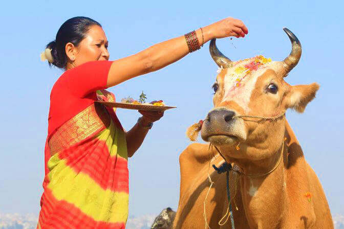 cow is a national symbol of nepal