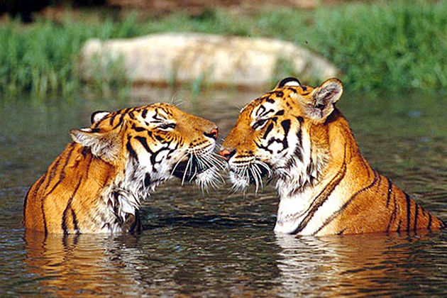 bengal tiger - chitwan national park wildlife