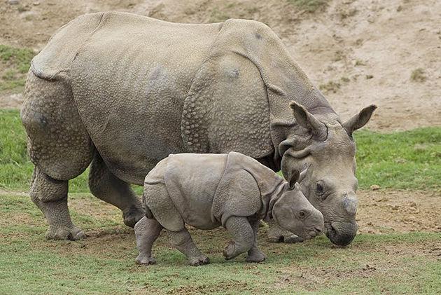 one horned rhinoceros - chitwan national park