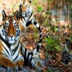 Tiger - bardia national park itinerary